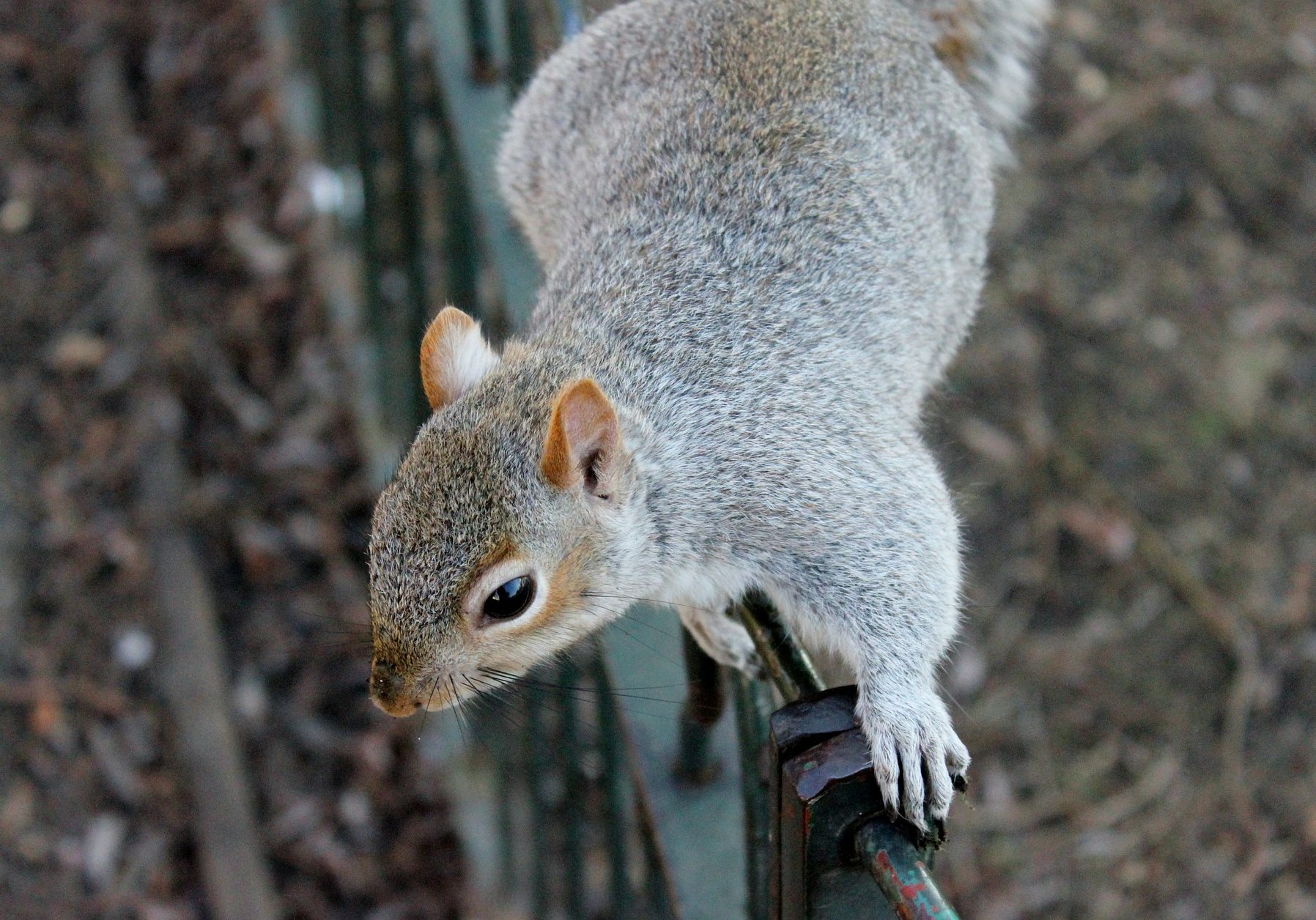 squirrel-111258_1920